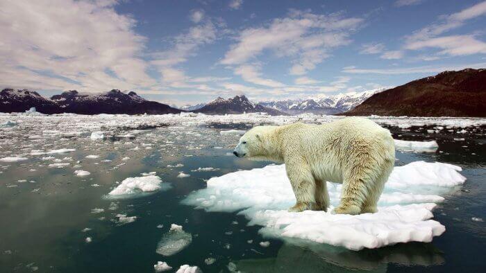 polar bear on melting ice cap